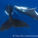 Humpback Whale Female and Calf | Limited Edition Print | Tony Wu