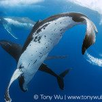 Humpback Whale Heat Run | Limited edition print | Tony Wu