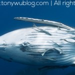 tony-wu-playful-humpback-whale-calf